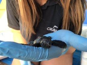 Una tortuga boba recién nacida.