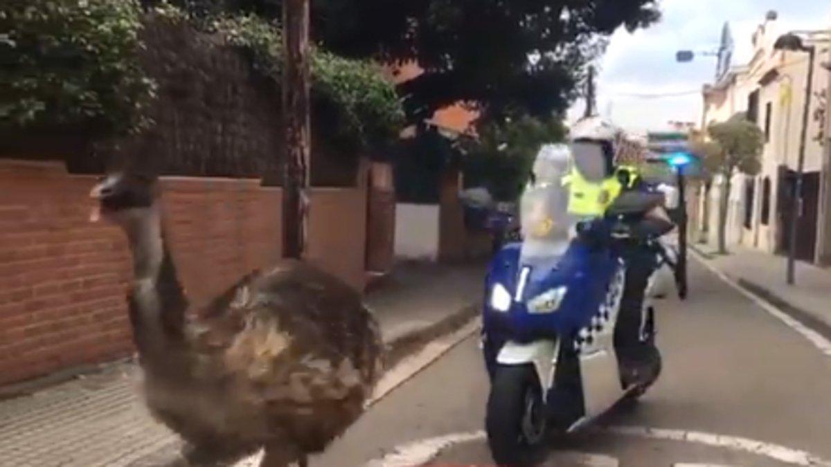 Un emú es passeja per Sant Cugat i mor després d'una persecució policial