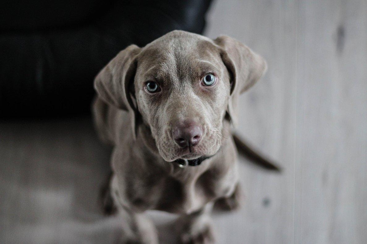 Así evolucionaron los ojos de los perros para enternecer a sus dueños