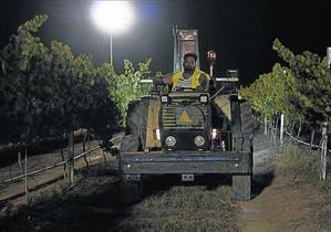 Primeras uvasrecogidas de nocheen la finca de Raimat, la temporada pasada.