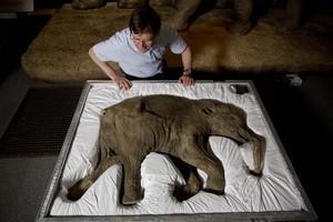 El profesor Adrian Lister, embelesado ante Lyuba, la cría de mamut del hielo.