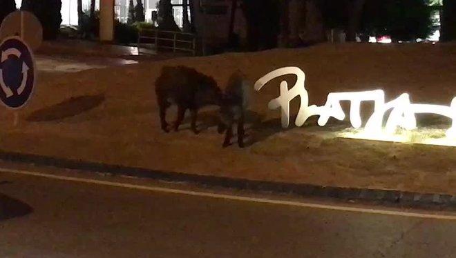 Dos senglars van estar a punt de causar un accident a Platja d'Aro