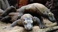 Nace la primera cría de dragón de Komodo del Zoo de Barcelona
