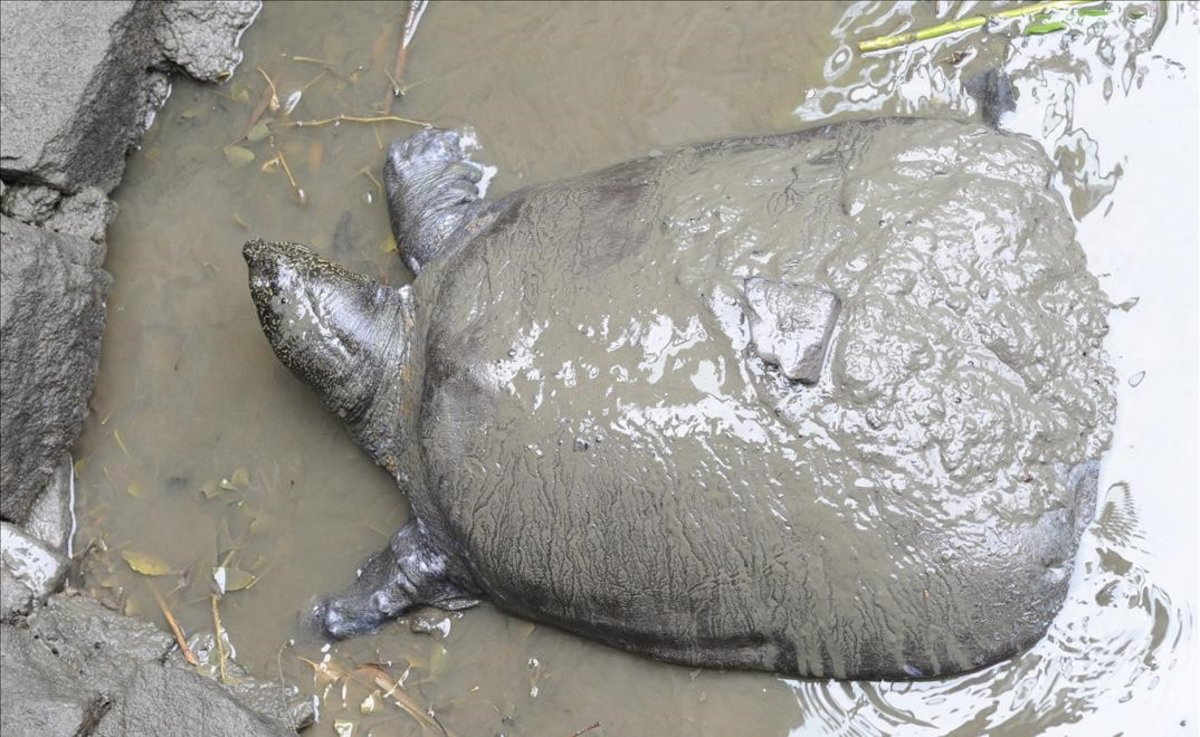 Fallece en zoológico una de las últimas tortugas del Yangtsé