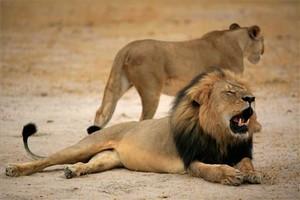 Cecil, el león más famoso de Zimbabue.