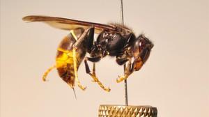 Un ejemplar de avispa asiática (vespa velutina), conocida también como avispa asesina.