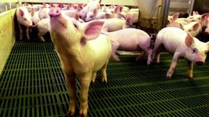 Lechones en una granja del Segrià.