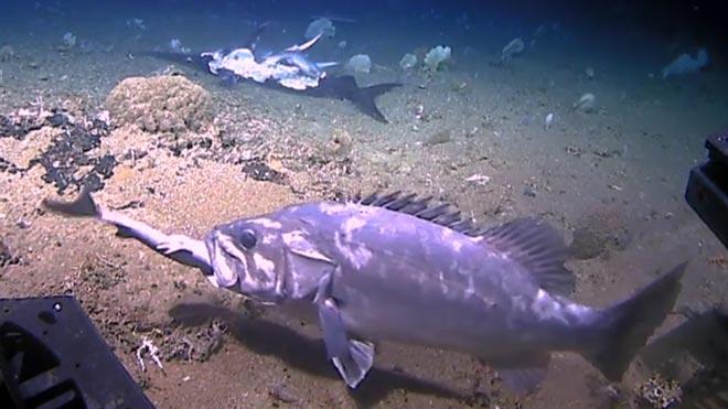 L'insòlit vídeo d'un peix de dos metres menjant-se un tauró