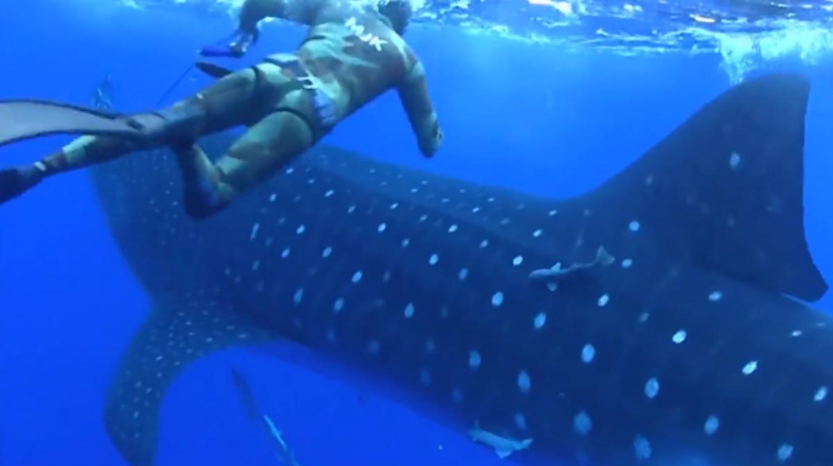 Así se ven sorprendidos dos buzos por un tiburón ballena