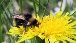 Una abeja polonizando a una flor.