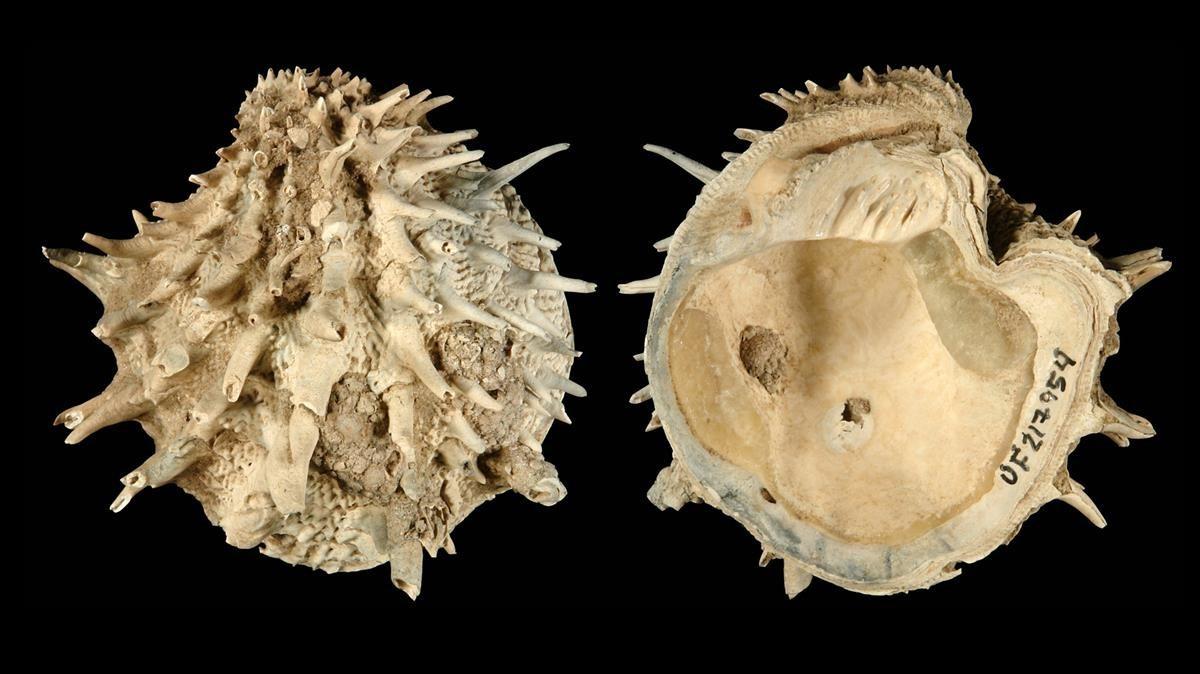 Muestra de fósiles de moluscos estudiados en esta nueva investigación