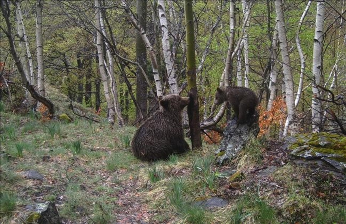osos pirineo