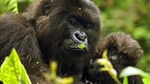 ealos22923021 junio 2011 ruanda gorilas en la foto una madre con su cria 180115211858