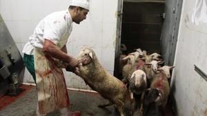 Corderos en un matadero de Girona acondicionado para el rito 'halal'.