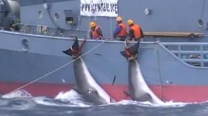 Dos ballenas acabadas de cazar y siendo arrastradas por un barco japonés