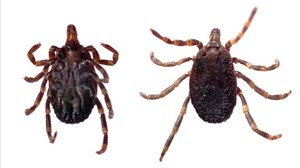cjane35345344 16060425 ventral and dorsal view of a tick hyalomma sp 160902190626