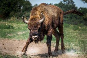 Un ramat de bisons talla una carretera i un d'ells envesteix un cotxe