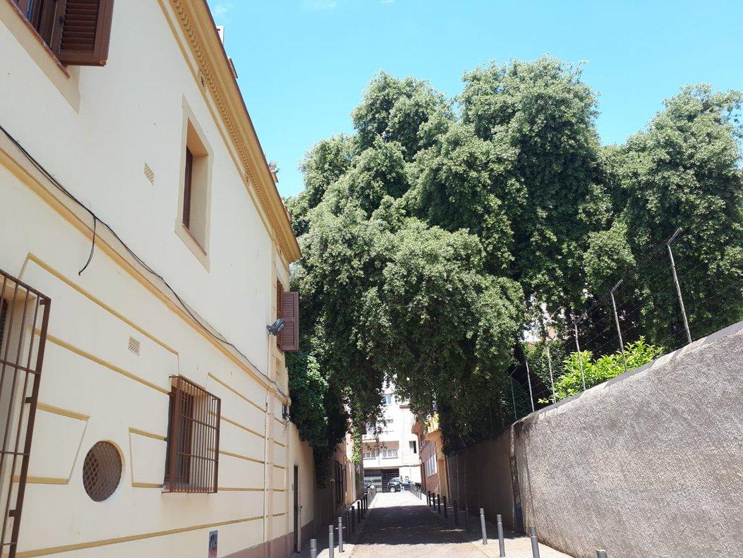 La encina bicentenaria presidiendo la calle Manrique de Lara, en Gràcia