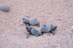 Desde este lunes, decenas de ejemplares de tortuga boba han nacido en la playa de Sant Simó de Mataró