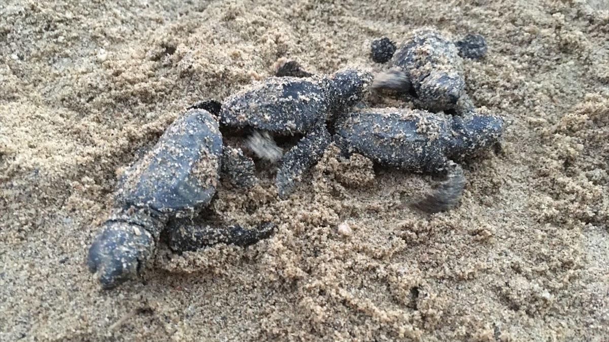 Rescatadas cinco tortugas bobas atrapadas en un nido en la playa de Cambrils