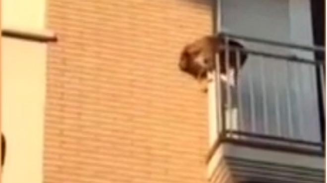 Un gos desesperat per la calor es llança al buit.
