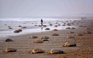 Miles de tortugas marinas , en la arena de la playa india de Rushikulya, este jueves, tras desovar.