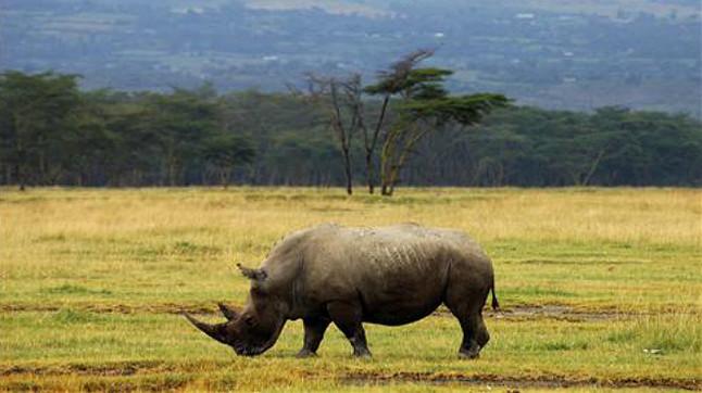 Rinoceronte en Kenia.