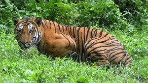 Tigre de Bengala, en una imagen de archivo