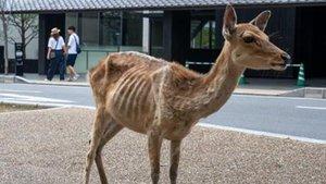 Uno de los ciervos desnutridos del parque de Nara, en Japón.
