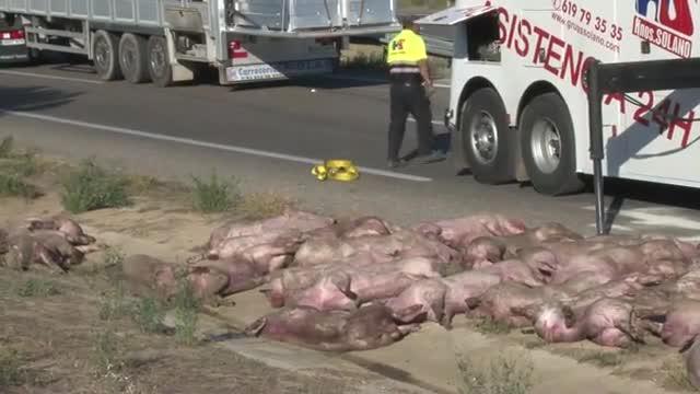 Accidente de un camión que transportaba cerdos en la A-2 en Lleida, sentido Barcelona.