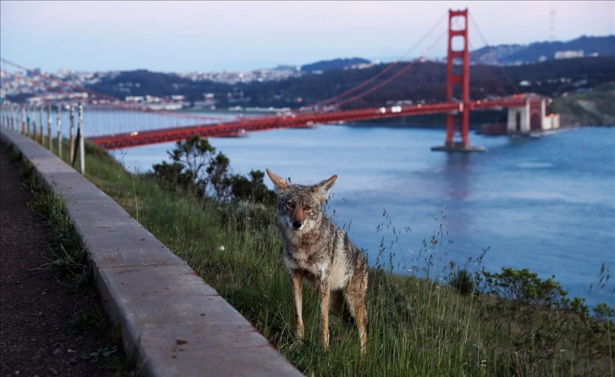 Un coyote en el mirador Vista Point del puente Golden Gate, con San Francisco al fondo.