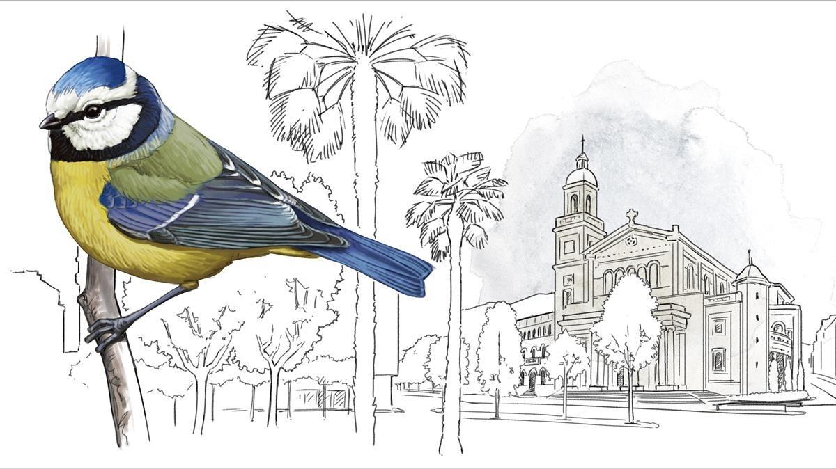 HERRERILLO COMÚN. Habitual en Collserola, Montjuïc y otros ambientes semiforestales y más escaso en el resto dela ciudad (ausente enCiutat Vella y esporádico en Gràcia). El censo calcula que hay unas 2.200 parejas.