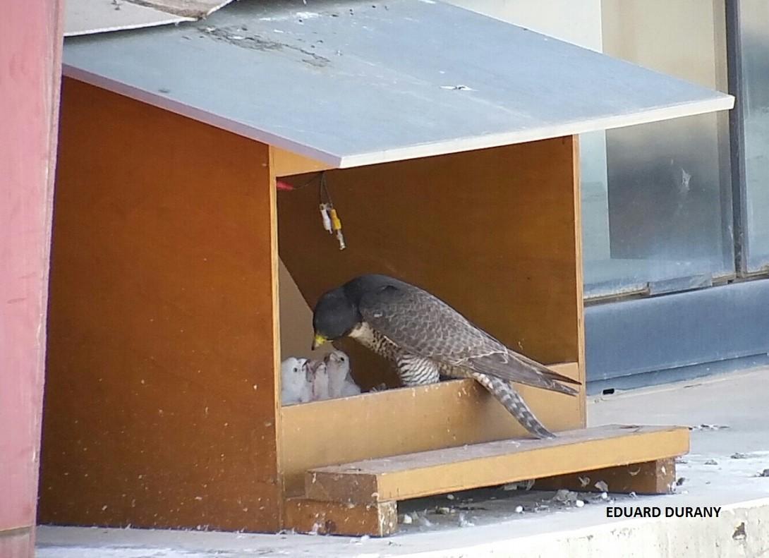 Nuevas crías de halcón pelegrino en Hospitalet.