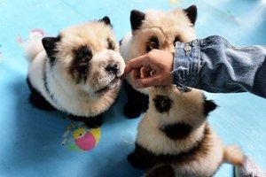 Tres de los cachorros de chow-chow del café Cute Pet Games, en Chengdu, en China.