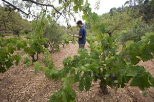 Viñedos, olivos y almendros en unafinca de Darmós (Ribera d'Ebre).