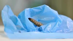 Una larva de la polilla de la cera sobre una bolsa de poliestireno de baja densidad, en un experimento del CSIC. Los investigadores han comprobado su gran capacidad para degradar el duro plástico.
