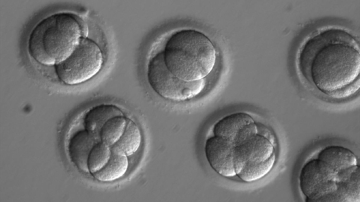Embriones humanos criados en un laboratorio.