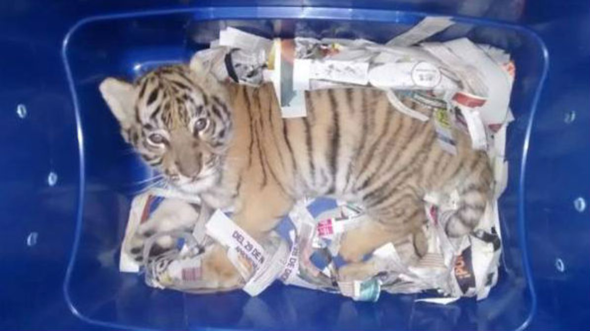 """Un cachorro de tigre, a punto de ser enviado por """"correo urgente"""" en México"""