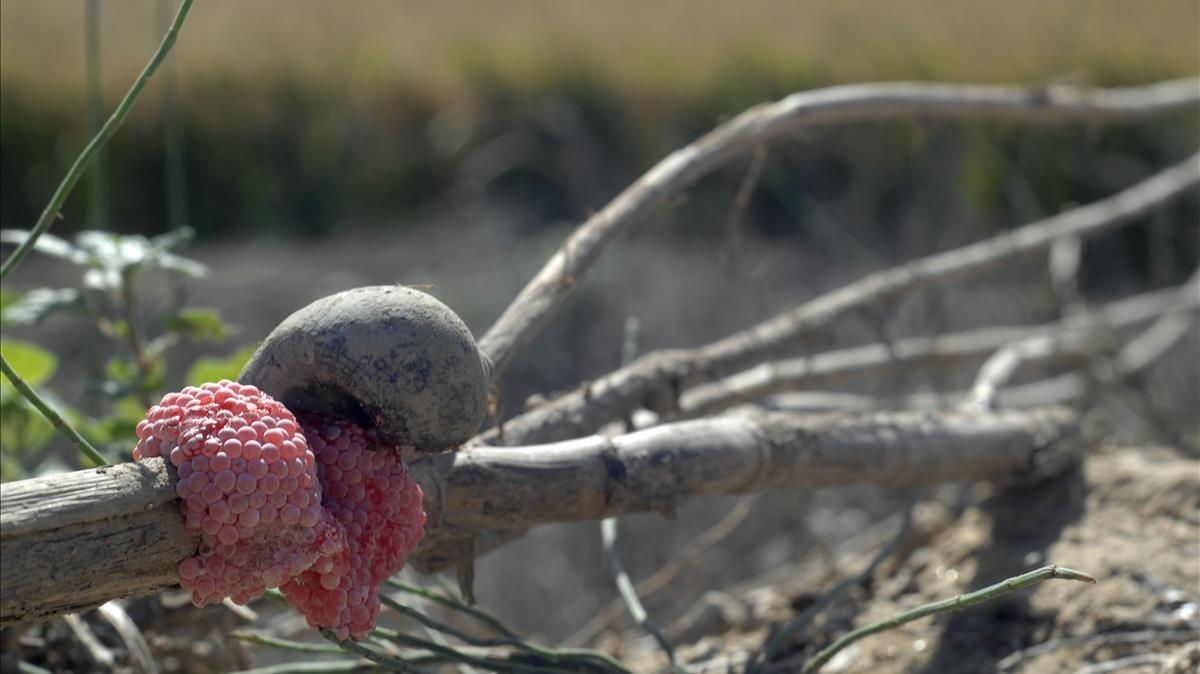 Un caracol manzana y sus huevas, en un arrozal en l'Aldea.