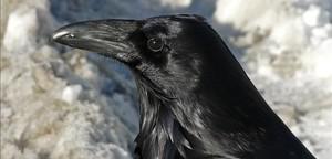 La especie elegida para realizar las tareas de limpieza son los cuervos de graja.