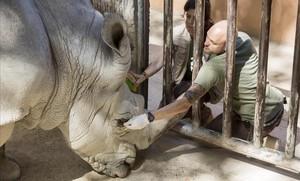 Instalación de los rinocerontes en el Zoo de Barcelona.