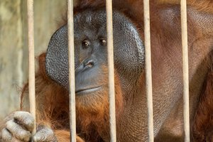 El rescate de los animales ha contado con la participación de varias agencias gubernamentales indonesias y los activistas de la International Animal Rescue.