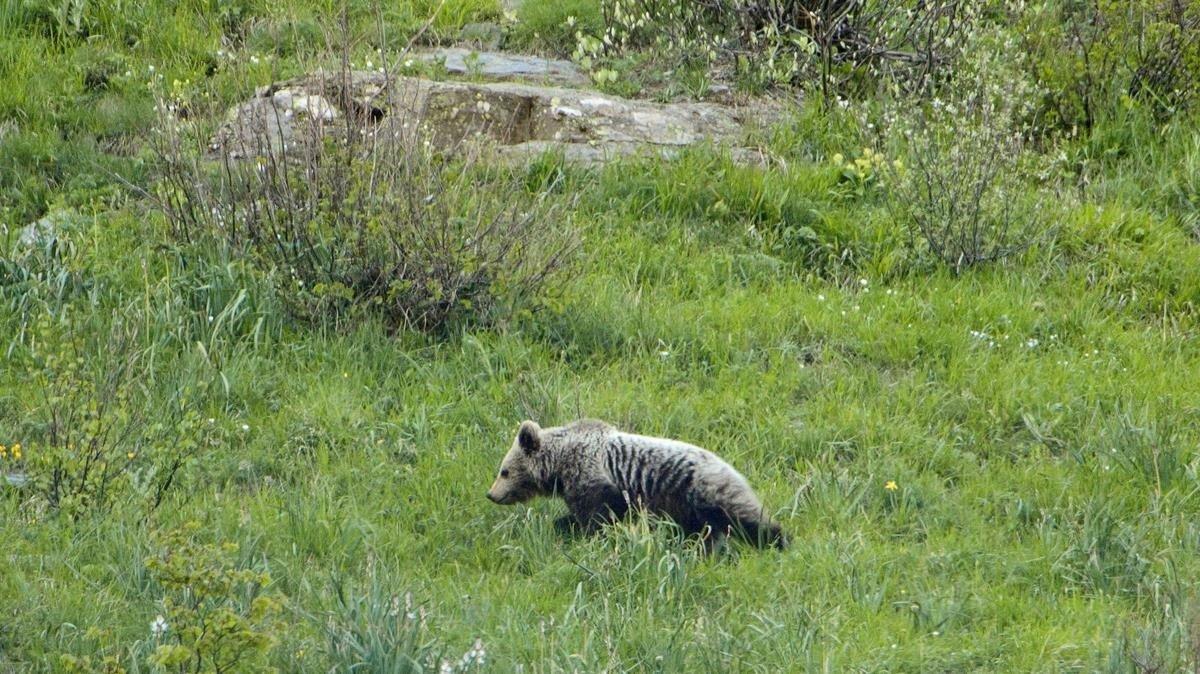Imagen de un oso en la Vall D'Aran, Lleida.