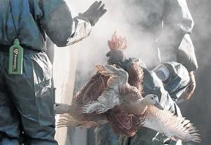 Trabajadores de una granja de Latrille recogen patos, el pasado enero, para proceder a sacrificarlos.