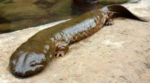 Una salamandra gigante china.
