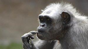 Mor la Vieja, degana dels ximpanzés d'Europa