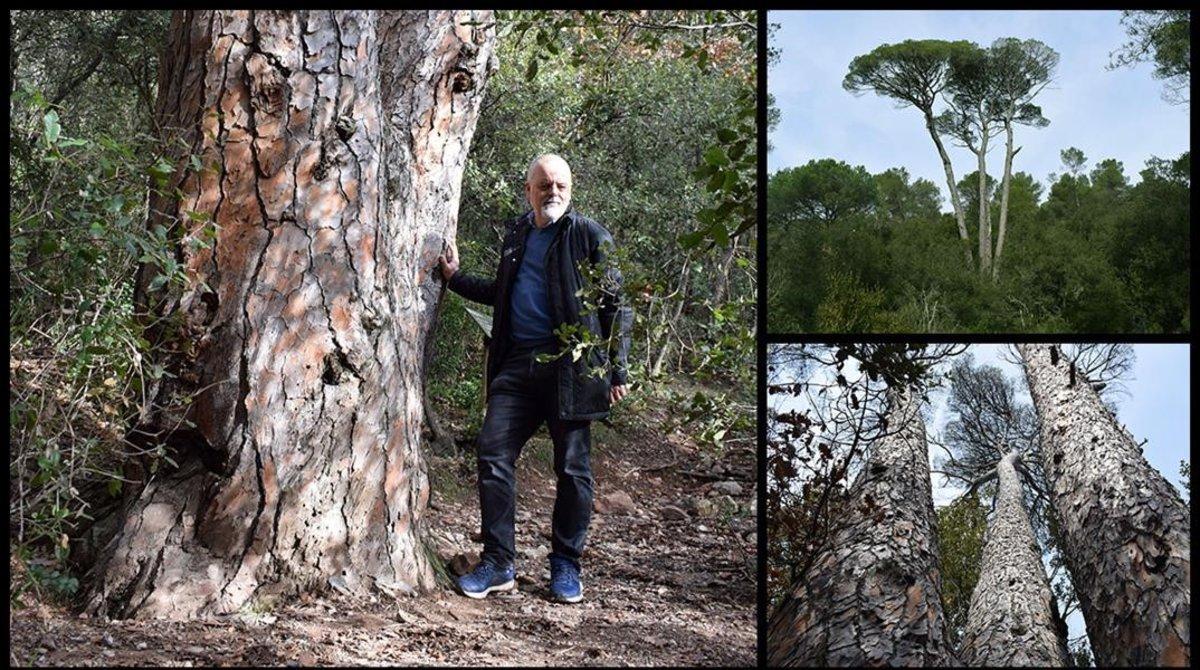 El Pi de les Quatre Besses del Dalmau, en el parque natural de Sant Llorenç del Munt.