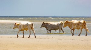 Un grupo de vacas en libertad en la isla Cedar, en Carolina del Norte, antes del paso del huracán.