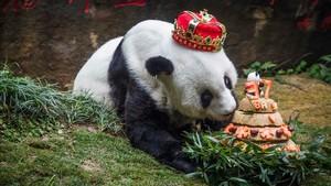 Mor a la Xina als 37 anys el panda gegant més vell del món