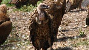 El buitre moteado africano.